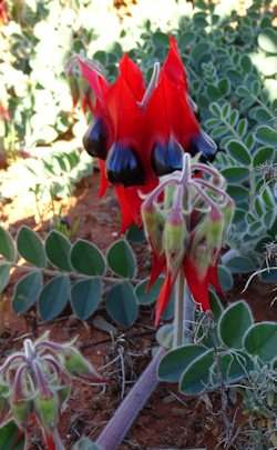 A Sturt's Desert Pea in flower