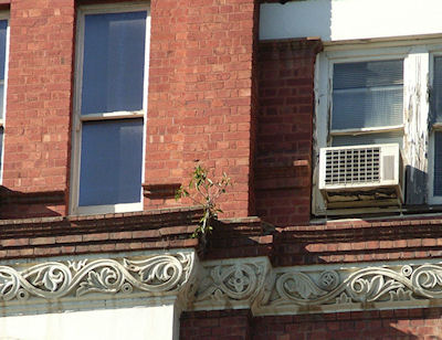 Fig Tree Growing in masonry on Gawler Chambers Building Nth Tce Adelaide